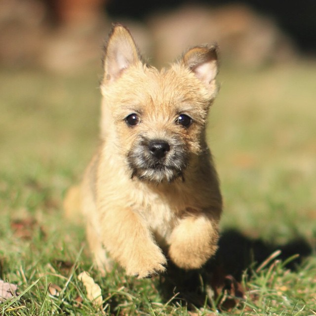 Please meet the newest member of the Kind Design family... Bisous (bi.zu)! #kinddesign #norwichterrier #liveyourdream #dogsofinstagram