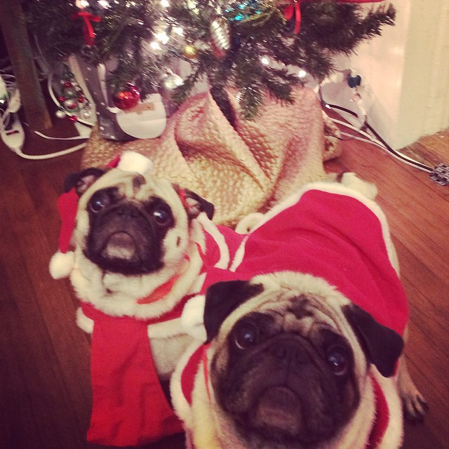Holiday pugs.  They're alright.  #kindafancychristmas