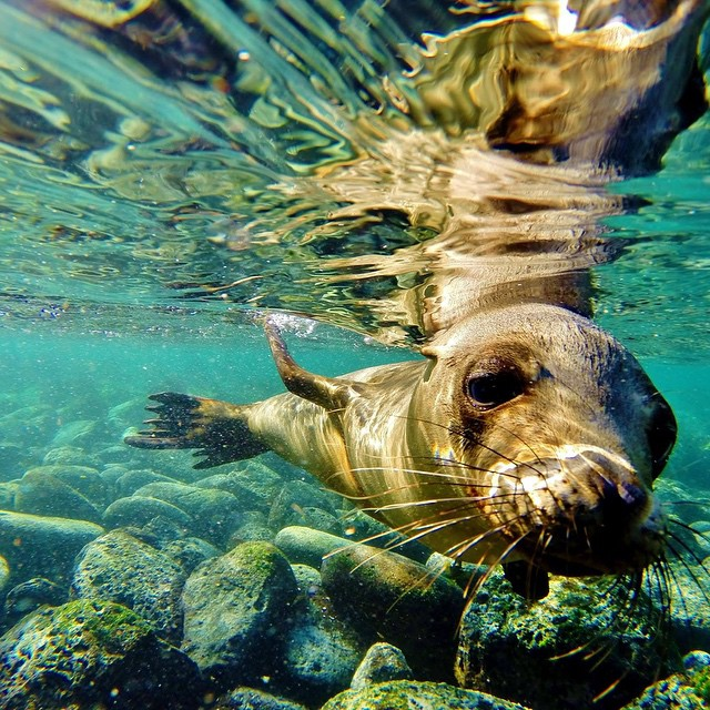 Photo of the Day! Snorkeling with a playful seal on San Cristobal Island. Photo by @seanruddiman.