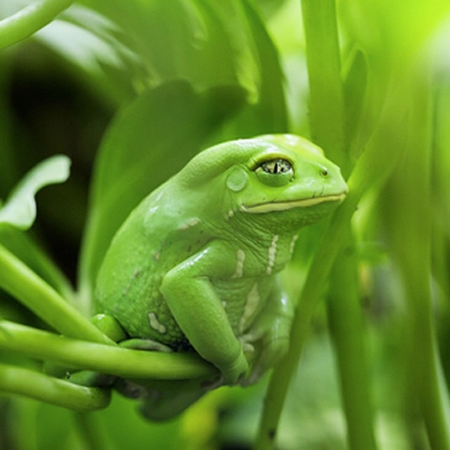 It's a monkey? It's a frog! It's both??? The Phyllomedusa sauvagii, also known as the #waxymonkeytreefrog, gets its nickname comes from the fact that they have a waxy coating on its skin to prevent from drying out as they walk carefully through the...