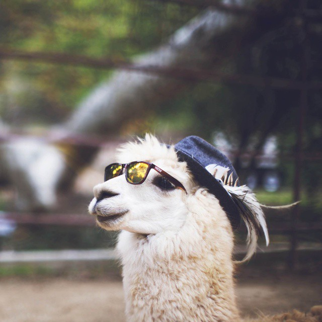 This is Cleatus the alpaca. Cleatus gets all the lady alpacas. @thexanadulife || #nectarshades photo @ejkim06