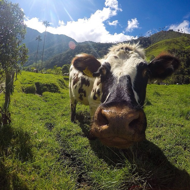 Photo of the Day! Moo. @Marcoli_angioi encounters a local resident while traveling through Colombia.