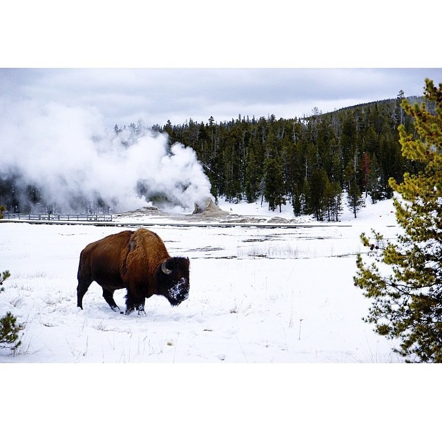 A magnificent beast photographed in Yellowstone National Park by @jonathan.jung! #radparks