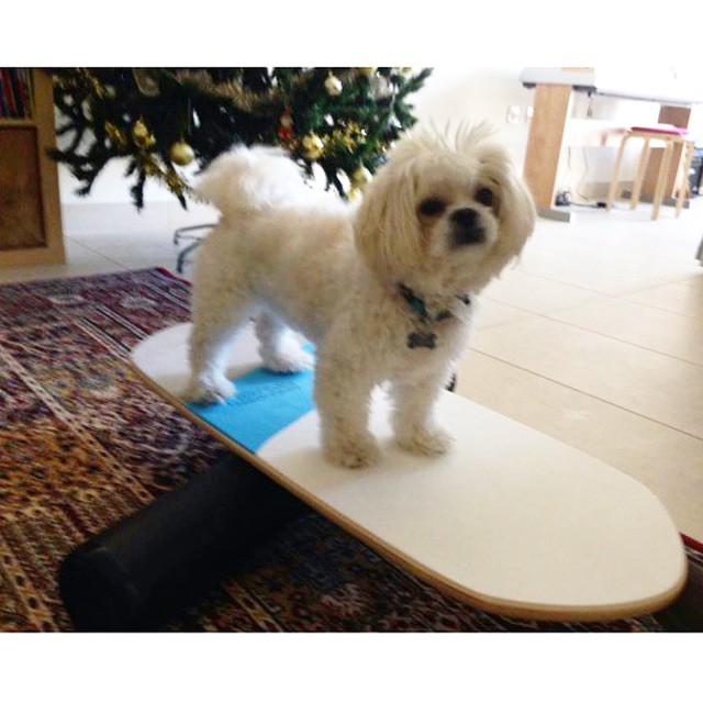Thank you to @teganstorm for submitting this pic of her crazy dog on the Swell! #balanceboard #balance #dogarecool --------------------------------------------------------------