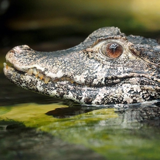 Cuvier's dwarf caiman is the smallest of the crocodilian species widespread in northern and central South America. Major threats to these #caiman come from the destruction of their habitat and exotic pet trade.  #WildlifeWednesday #Cuipo  #SaveRainforest