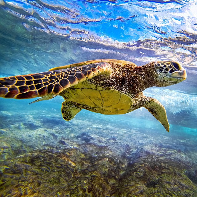 Photo of the Day! @honuwhisperer swims with a honu in Hawaii.
