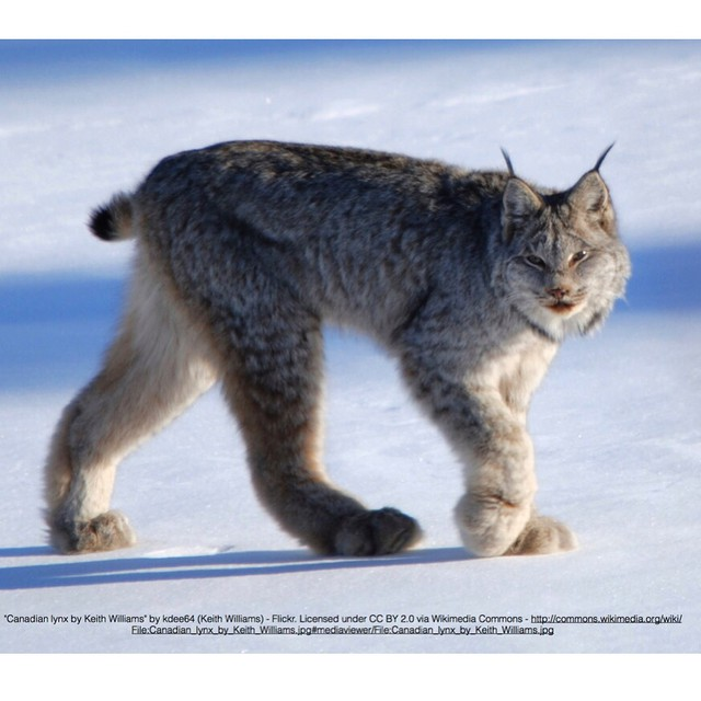 Canada #lynx are built for winter, floating atop snow with their huge paws and specializing in hunting snowshoe hares. Learn more at the Greater Gallatin Watershed Council annual meeting tonight, where our executive director @gtreinish will speak about...