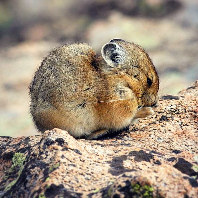 Do you know the American Pika's biggest secret? It's hiding the longest tail of any member of the lagomorph family. Not so secret... it's also the cutest! #factfriday #adventurescience #pika #pikaproject