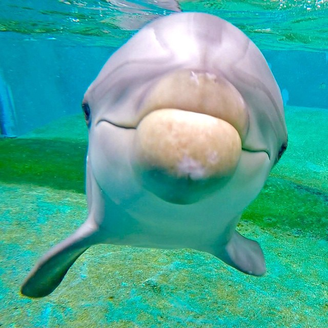 Up close and personal with Nalu. Photo: @katiejruss GoPro HERO4 | GoPole Evo #gopro #hero4 #gopole #gopoleevo #dolphin