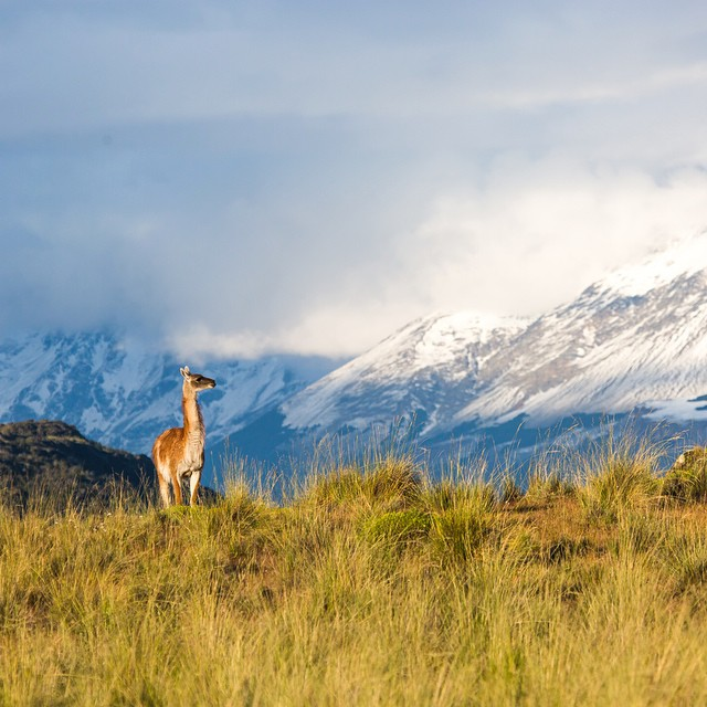 A guanaco on the wild grasslands of Valle Chacabuco, part of Parque Patagonia​ in Chile. Before starting ASC, our founder @gtreinish walked though this wild valley on his 7,800-mile trek along the spine of the #Andes Mountains.  Photo:...