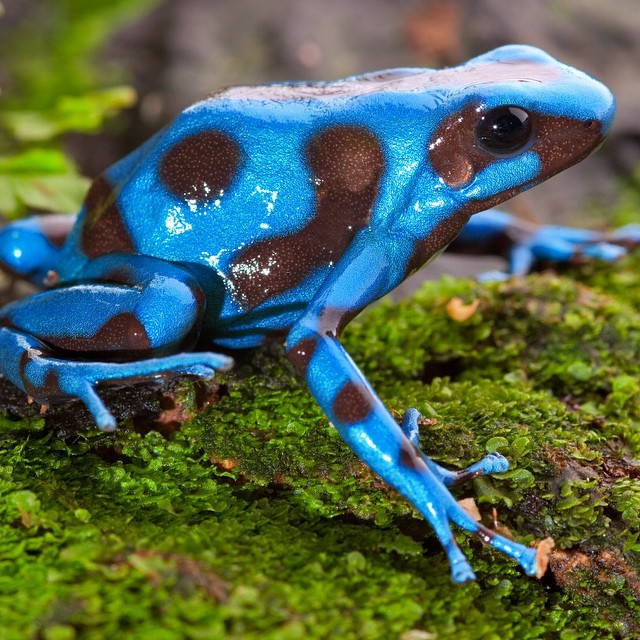 #WildlifeWednesday : Blue dart frogs have the ability to secret toxins in their skin to use as protection against predators. The paralyzingly and potentially deadly toxins are originally found in the insects that they eat.