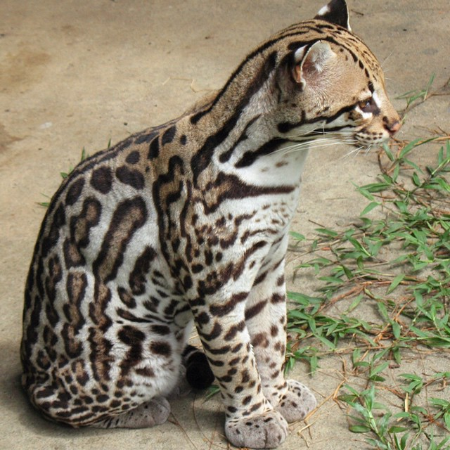 Ocelots, also known as the dwarf leopard, are the only medium sized cat found in the tropics. They are primarily nocturnal and highly active and are one of the few felines who are strong predators on land and in water. #WildlifeWednesday #Cuipo...