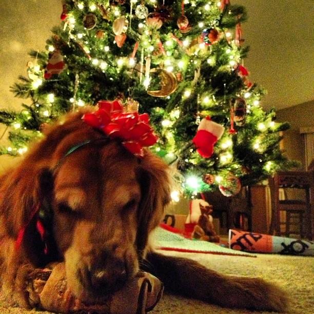 Nico dog enjoying her early holiday bone, #bestdogever