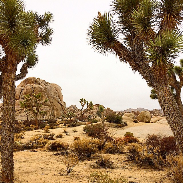 Where will your travels take you today? #Wanderlust #uluLAGOON  #joshuatree #nationalparks #martianlandscape #notthebeach