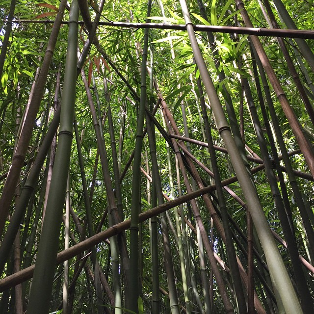 #nature #hike #bamboo #pali #hiking #hawaii #dontpanicitsorganik