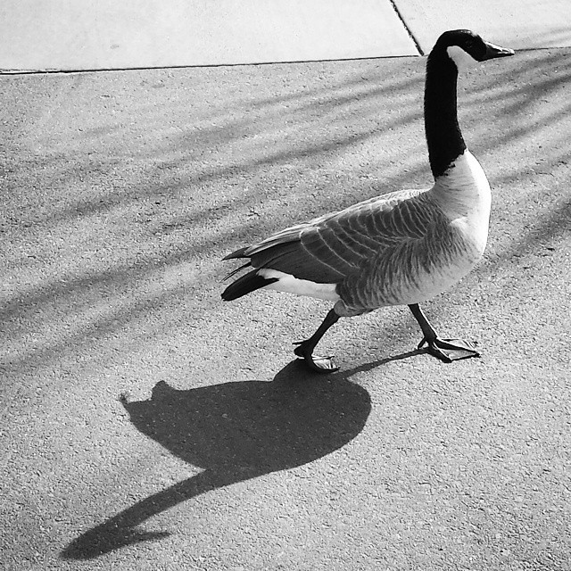 Morning walk with @monprimm and my new friend Chester. #shadows #geese #wholefoodsparkinglot