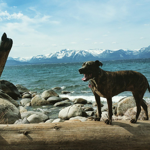Jill loves getting out and about in #Tahoe #adventureout #shorthikes #pitbulls #pups #southshore #laketahoe #graniterocx