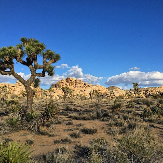 Desert blue in Joshua Tree National Park by @tabitha3641 #radparks #parksproject