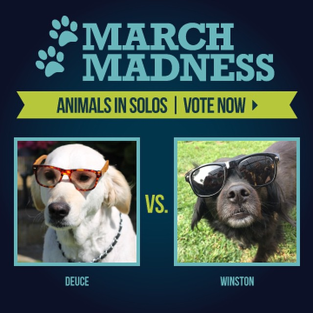 Let the games begin! We're kicking off our March Madness contest with Deuce and Winston. Please vote by commenting below with your favorite pup in SOLOs. The winner will advance to the next round! #soloeyewear #marchmadness #contest #fun...