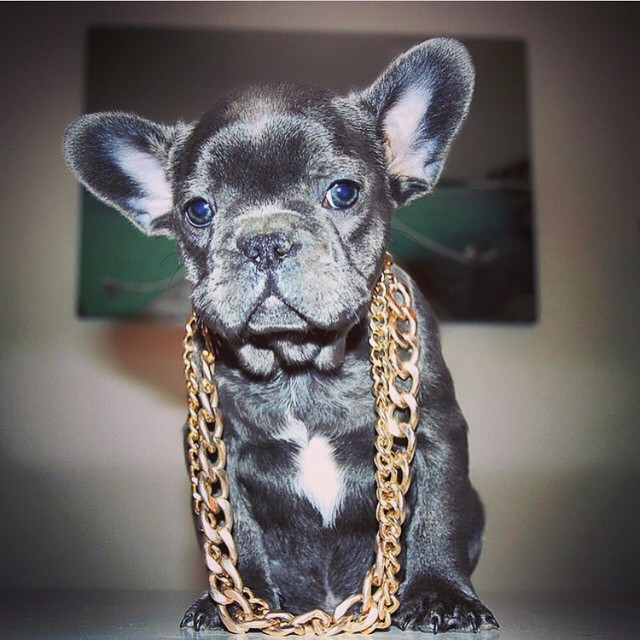 Today's mood #gangsta #frenchbulldog #thuglife #goldchainz #frenchie #swag
