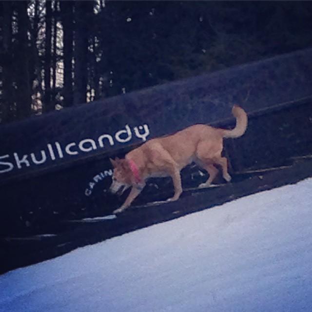 Lula by the #skullcandy #downrail  @carinthiaparks @skullcandy @mountsnow #ilovedogs #skiing #snowboarding #sendit #carinthia #mountsnow @kateemcneil