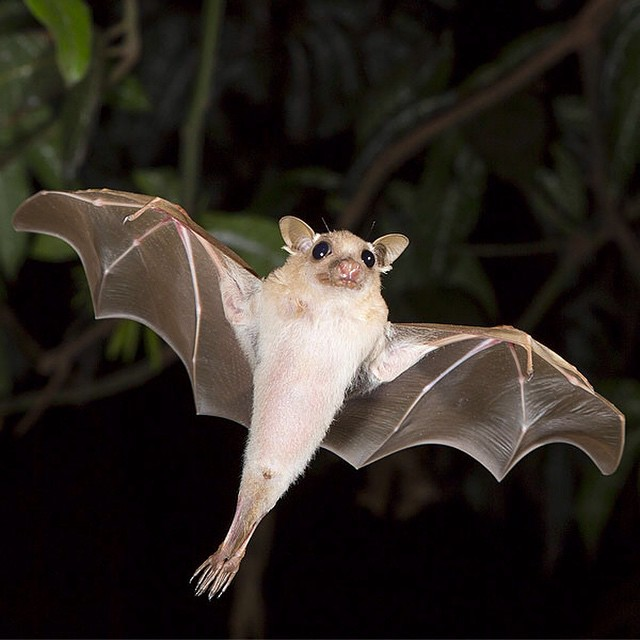 ‪#‎WildlifeWednesday: Hayman's dwarf epauletted fruit bats roost in trees and shrubs, so deforestation is major threat to these animals because of habitat loss. That sounds pretty batty to us! ‬ #Cuipo‬ #Megabat #SaveRainforest
