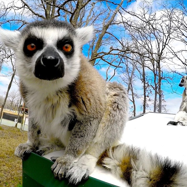 Photo of the Day! You looking at me? King of the lemurs on Lemur Island Photo by @hashtaghoutie.  It's GoPro Animal Month! Be sure and submit you're best content at gopro.com/submit.