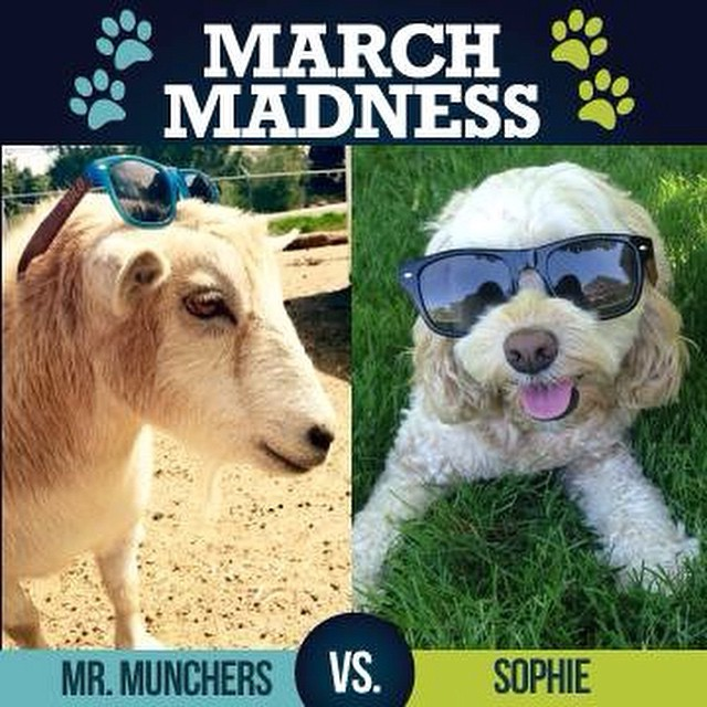 ROUND 2: Who will win, Mr. Munchers or Sophie???? Vote now by commenting below! #marchmadness #soloeyewear #fun #contest #sunglasses #giveaway #bamboo #ecofriendly #love #cute #goat #vs #dog #instagramanimals #pet #animallovers #farm #animals...