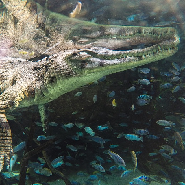 @ShawnParkin catches a crocodile at the @SanDiegoZoo using his HERO4 Silver in 30 frames in 3 seconds Burst Mode.  Have an awesome animal photo? We'd be stoked to check it out. GoPro.com/submit to be featured!