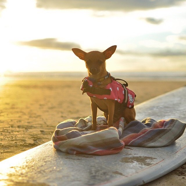 Surfer dogs can be #miolagirls too... @sambatothesea's very own Gidget, the MI OLA ambassadog