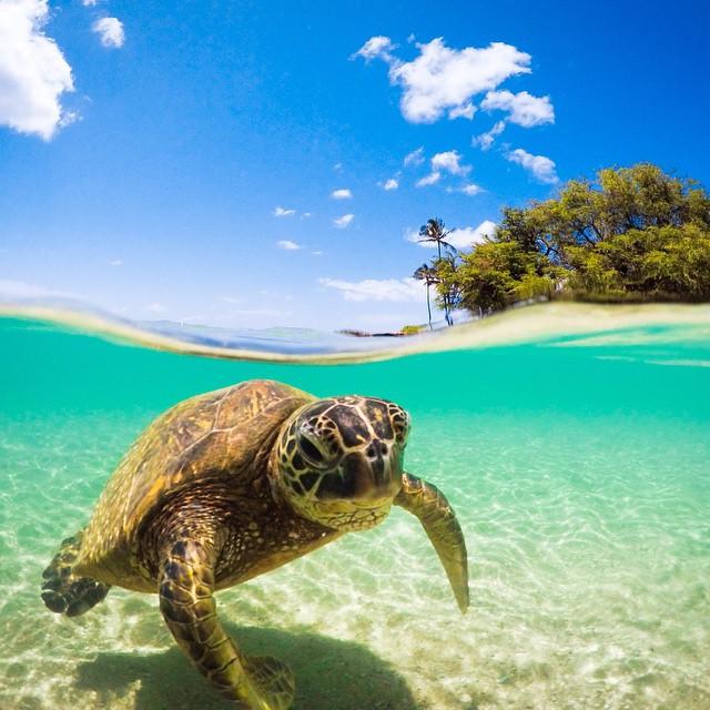 Cowabunga Dude! Photo by @Beau_Johnston_Photography. #gopro #turtle #cowabunga  Have a cool GoPro animal photo? Share it with us: g.gopro.com/animalphotos.