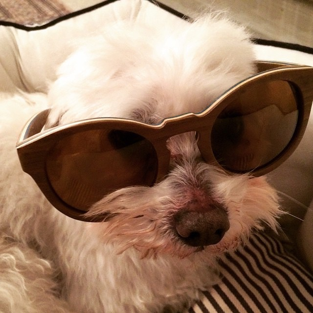 Eddy the maltese pup wants you to say no to cataracts by wearing your shades. @pocci.na #seniorspectacle #dog #picoftheday #summer #sun