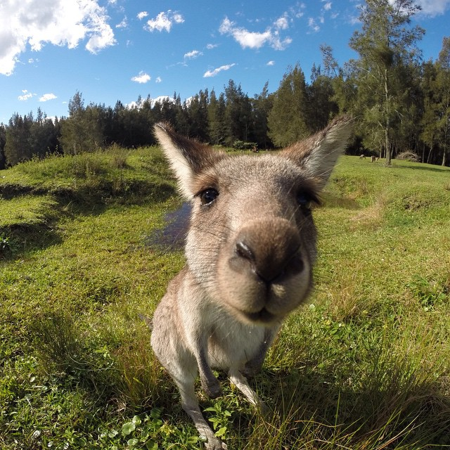"""Kangaroo Smile"". Photo by Claudio Santos. #gopro #closeup #kangaroo  Have a rad GoPro animal photo? Click the link in our profile and submit it to us!"