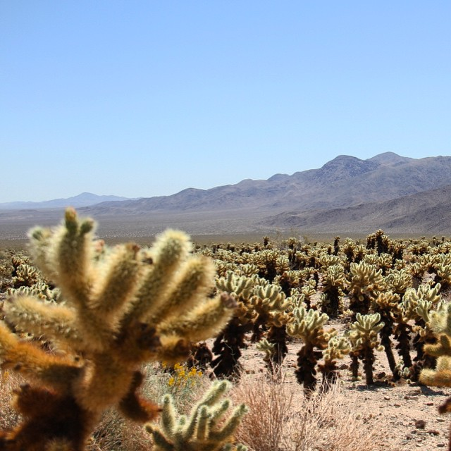 Wandered through a garden of cacti - only one of us got bit #lategram #joshuatree #weekendvibes #findyourpark #nationalparkweek #exploremore #california #roadtrip #cactus