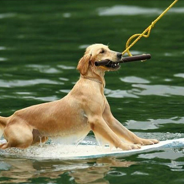 #woof  #boarddoggie #revbalance #findyourbalance #boardsports #balance #coolpets #thisdog #cooldog #ridethewake