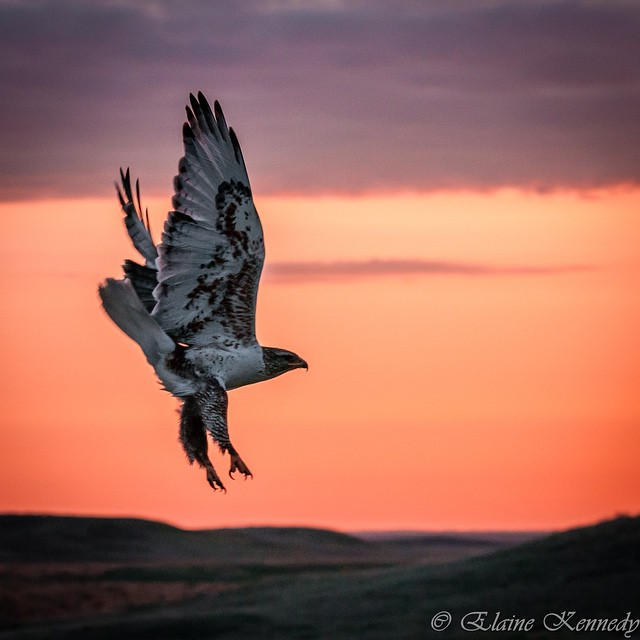 Ferruginous hawk, purple sky.  Elaine Kennedy (@elainekennedyphotography) captured this killer image while she and the rest of the‪ #ASCLandmark‬ crew were headed out to study sage grouse leks on @americanprairie.  See more of Elaine's work at...