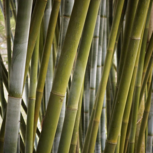 The beauty, strength and durability of #bamboo never ceases to amaze // #qualityshafts #bambooskipoles #skiing