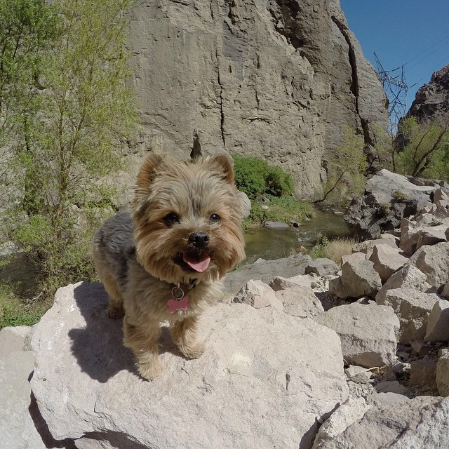 You may not be surprised that GoPro Snow athlete @ChrisBenchetler's pup is also a stud. @Reese_the_Explorer enjoys the snow AND rock climbing.  #GoPro #dogsofinstagram #rockclimbing
