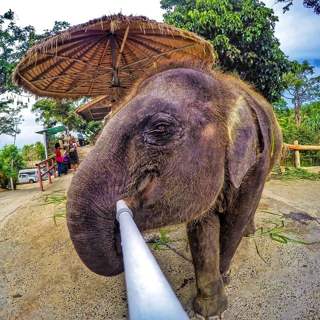 When an elephant takes a selfie... Photo: @bensheriff GoPro HERO4 | GoPole Reach #gopro #gopole #gopolereach #elephant #