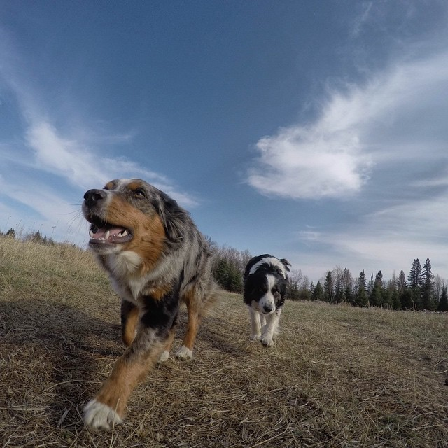 @DogsofInstagram Takeover.  This action shot of @hollyandraven, the Border Collie and Mini Aussie from Minnesota, was captured on GoPro HERO4 Black #GoPro #DogsofInstagram #Dogs