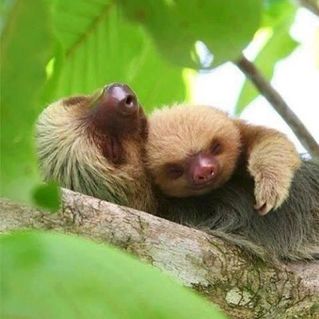 Happy sloth sunday. #slothsunday #saverainforest #cuipo