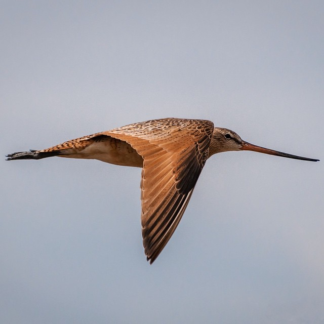 Marbled Godwit: a final photo from @elainekennedyphotography's time on @americanprairie with the #ASCLandmark program.