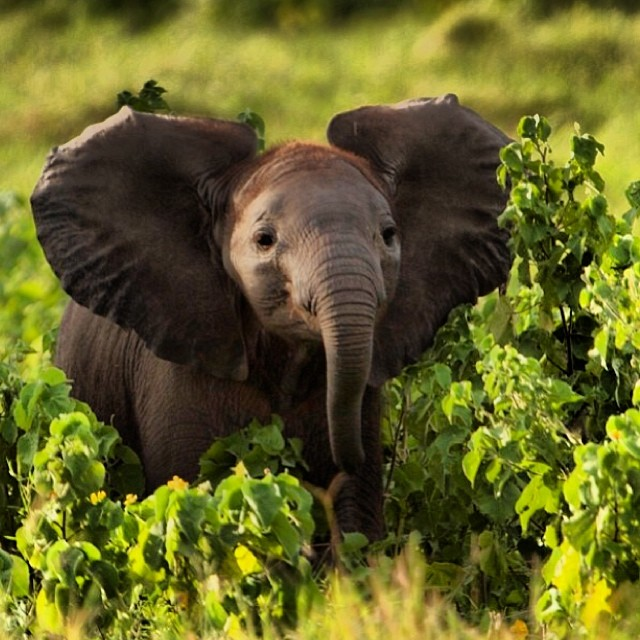A new born elephant in the wild. #respectandprotect #cuipo #saverainforest you can save 10sq meters of rainforest today with cuipo.org
