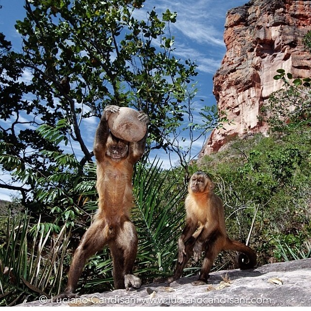 Capuchin monkeys shot by @lucianocandisani