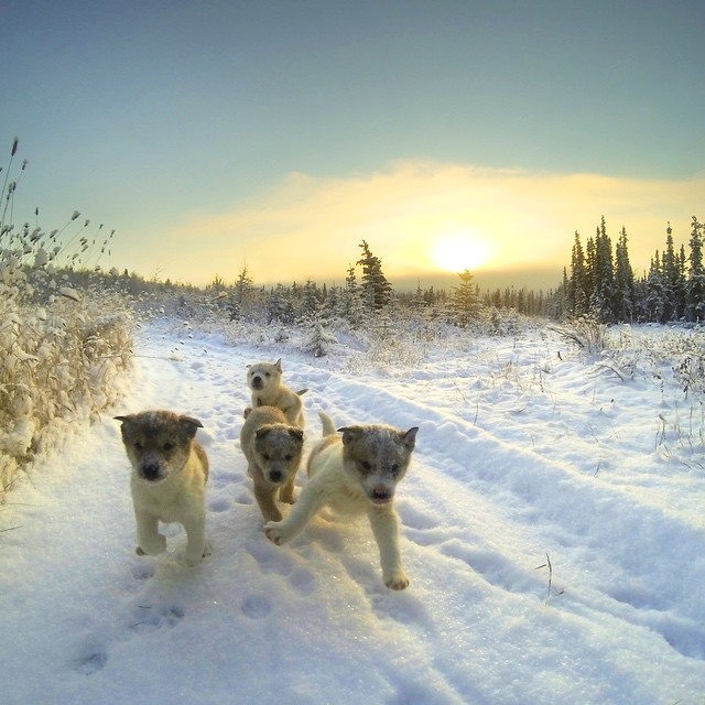 Photo of the Day! Alaskan trail running is better in a pack! Photo by Thibault Froissant. #GoPro #puppies #photooftheday #running