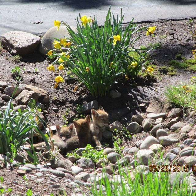 Coyote pups spotted in Tahoe! So cute! Photo from Tahoe Donner