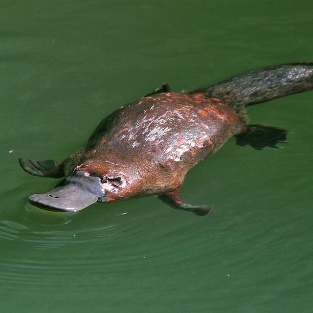 #WildlifeWednesday: The platypus is a semiaquatic egg laying mammal that breathes air but spends most of its time underwater searching for food. Male platypuses have spurs on the bottom of their feet that contains venom- another rare characteristic for...
