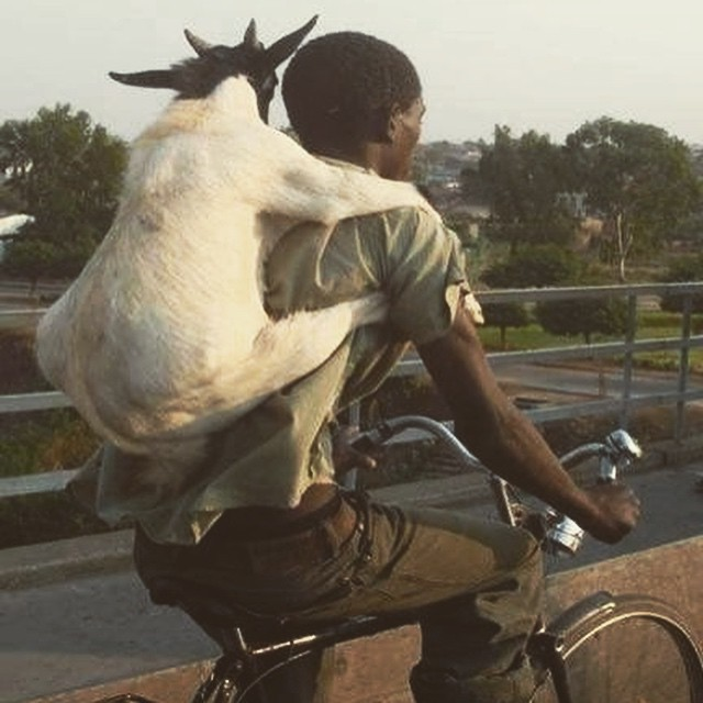 Here's a goat being worn as a backpack. Life complete. That is all... #utterstoback #happyfrigginfriday