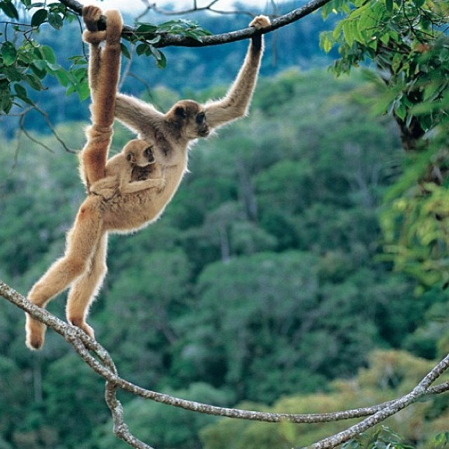 Just hangin around. #cuipo #saverainforest