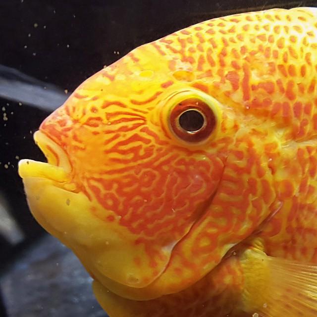 Cuando fui a temaiken, al entrar al acuario me sorprendio la combinacion del naranja y amarillo de este pez.... pero para mi que tiene presion alta en el ojo.  #animalsworld #fish #all_my_own #agean_fotografia #animazing_nature #bg_shots #big_shotz...